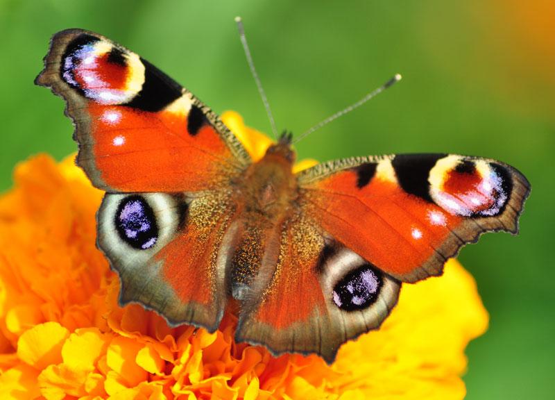 mariposa Inachis io
